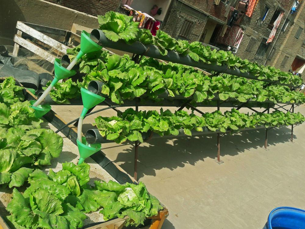 Hydroponics-Urban-Greens-Cairo
